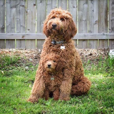 goldendoodle puppy help 25 best ideas about golden doodles on golden