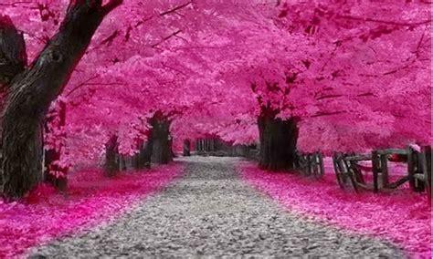 Wallpaper Bunga Sakura Terindah | gambar shot fotografi alam jepang gambar pemandangan