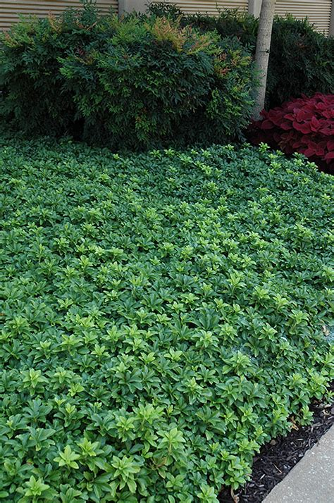 green sheen japanese spurge pachysandra terminalis green