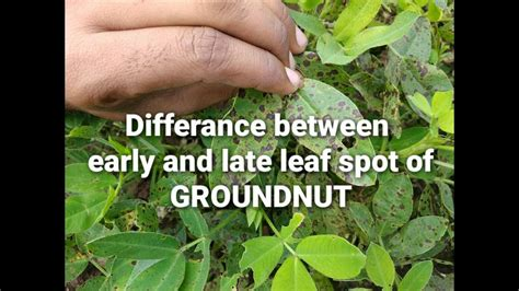 Early Late how to differentiate early late leaf spot of groundnut