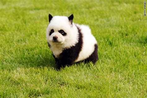 puppies that look like pandas 40 fluffy pictures of puppies that looks like pandas and fur