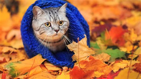wallpaper cat autumn cat animals fall leaves wallpapers