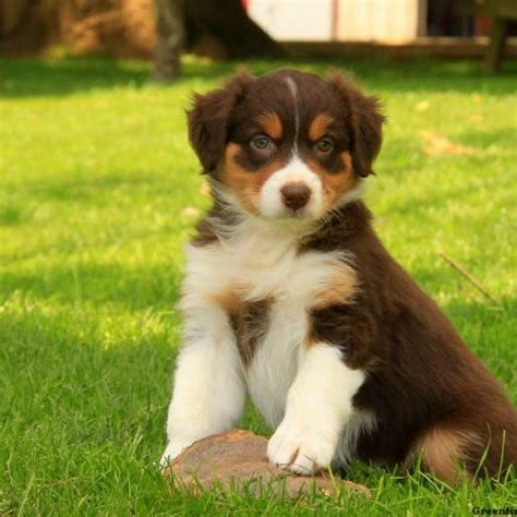 mini australian shepherd puppies for sale in australian shepherd puppies for sale greenfield puppies