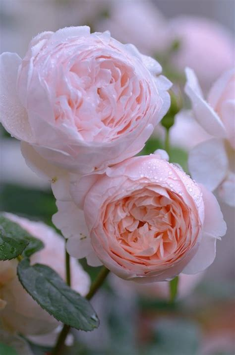 23 best garden roses look like peonies images on pinterest beautiful flowers cabbage roses