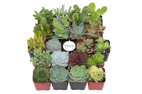 amazon succulents 12 feng shui houseplants you should get on amazon s plant