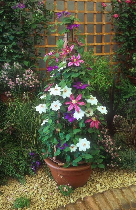 pots for climbing plants how to grow clematis in containers cleeve nursery