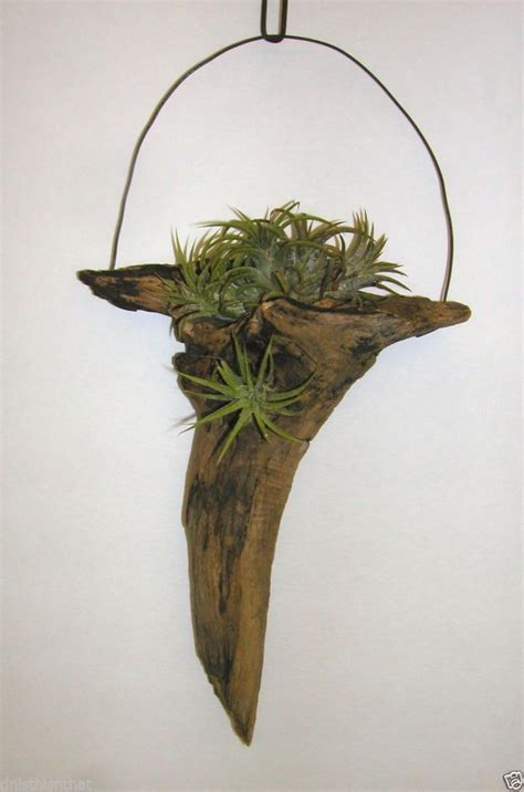 hanging air plant 10 best images about air plants on pinterest a tree
