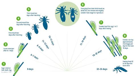 Lifespan Of Bed Bugs Nits Head Lice Nightmare Get Rid Of Nits With No Stress
