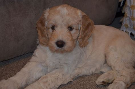 cockapoo puppies available for sale cockapoo puppies for sale sleaford lincolnshire pets4homes