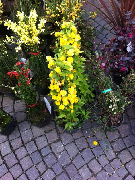 piante fiori gialli pianta con fiori gialli