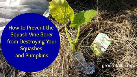 Gardening Tips For Summer - prevent squash vine borer from killing squash amp pumpkins
