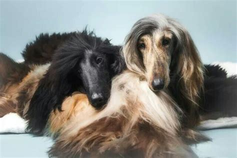 hound true 568 best images about afghan hounds on
