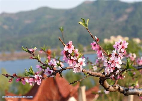 new year blossom tree liaoning bello paisaje de flores de durazno en villa hekou