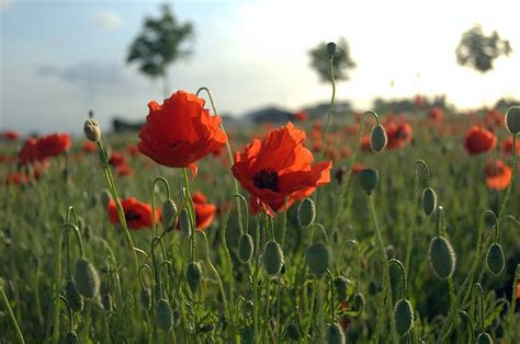 talking dutch where poppies don t grow flanders today