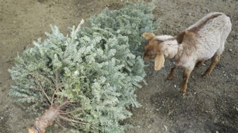 these san francisco goats eat your christmas trees