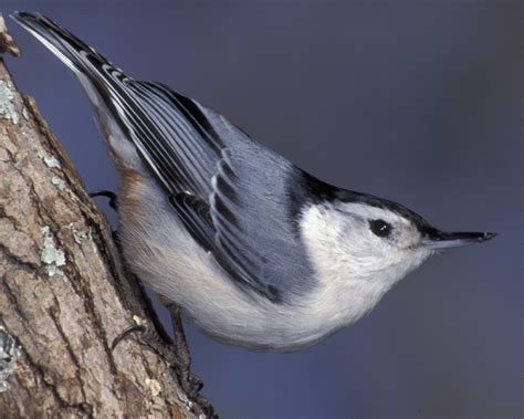 white breasted nuthatch audubon field guide
