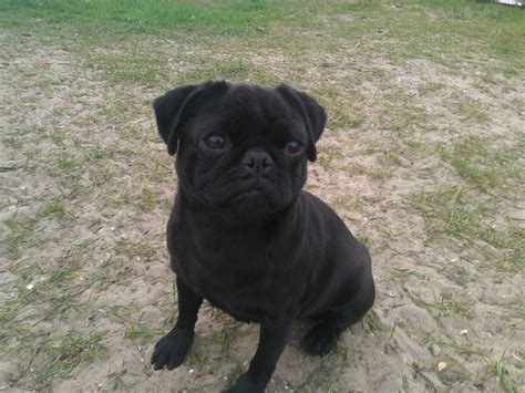 pugs price reduced price black pug boy proven stud great yarmouth norfolk pets4homes