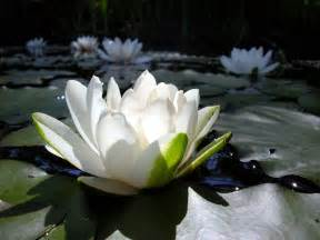 White Lotus Plant Lotus Flowers Wallpapers Hd Pictures One Hd Wallpaper