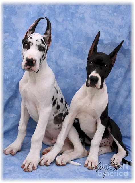 great dane puppy names 17 best ideas about great dane names on blue great danes great danes and