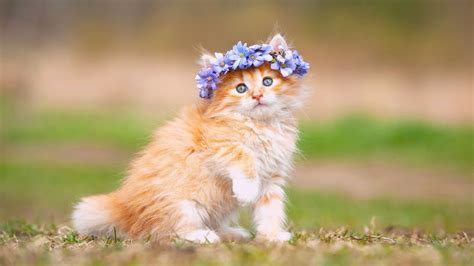 kitten background wallpaper kitten adorable hairband hd animals 897