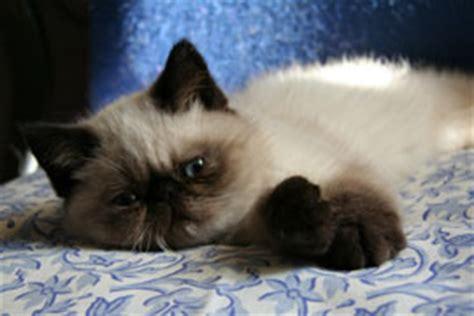 gatti persiani torino allevamenti in piemonte gattipersiani it gatti persiani
