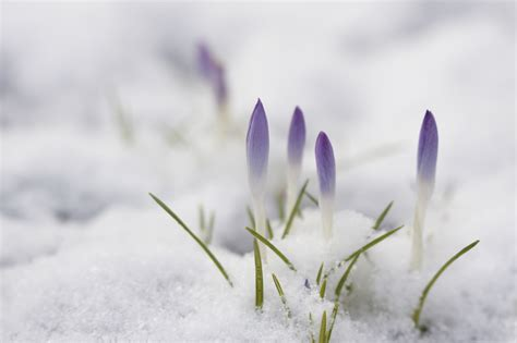 L Shaped House by Crocus Cold Damage Will Snow Hurt Crocus Blooms