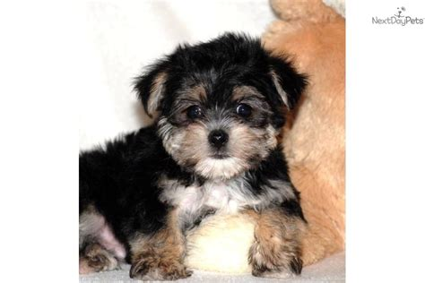 affenpinscher puppies for sale affenpinscher puppy for sale near columbus ohio d7fb48f7 6bb1