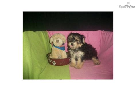 morkie puppies for sale in ct yorkie terrier mix for sale in glastonbury connecticut breeds picture