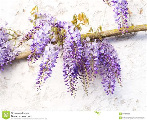 copy right free pictures of purple wisteria plant of wisteria and historic bridge in the distance in the gar royalty free stock photo