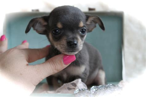 chihuahua puppies oregon chihuahua puppies for sale chihuahua breeders oregon design bild