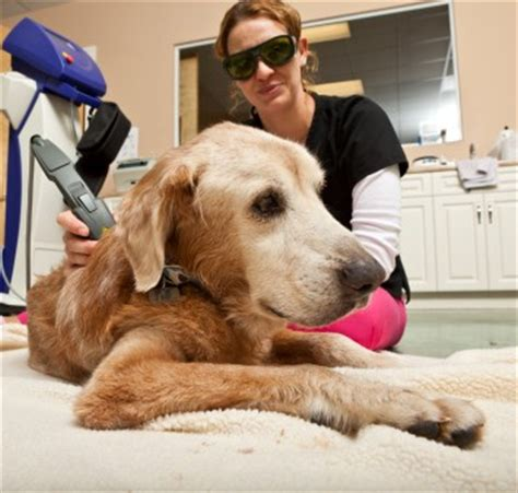 laser for dogs low level laser therapy for dogs vet times