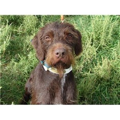 pudelpointer puppies for sale pudelpointer puppies ad 67794