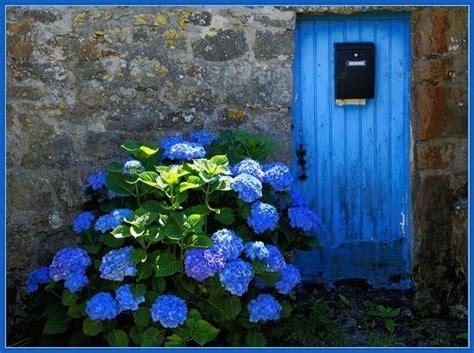 significato fiore ortensia ortensia significato linguaggio dei fiori l ortensia