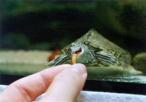 schildkröte zuhause halten hoecker schildkroeten wasserschildkroete de