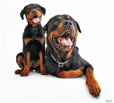rottweiler hypoallergenic 10 images of most popular breeds size varies but loyalty doesn t newsmax