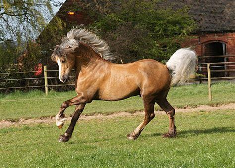 Tas Palomino Original Dary Brown palomino stallion stock by equinestudios on deviantart