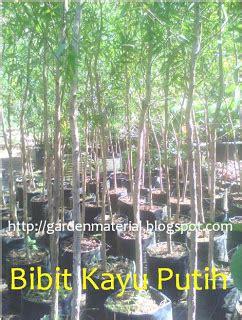 Minyak Kayu Putih Per Pak wirausaha bibit tanaman kayu putih