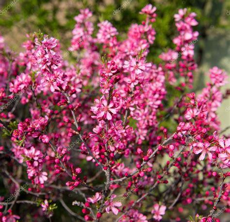 albero fiori rosa albero di fioritura con fiori rosa in primavera foto