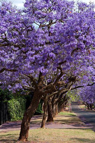 purple flowering shrubs in florida florida flowering trees identification purple flower