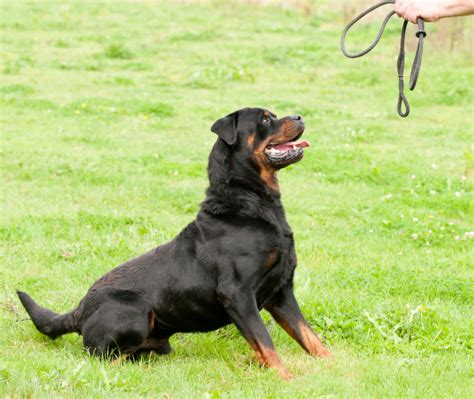 do rottweilers shed 11 things only rottweiler owners understand
