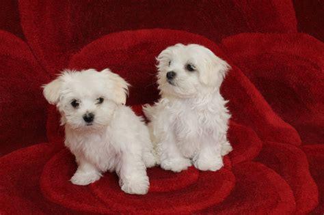 boy puppy maltese boy puppy peebles peeblesshire pets4homes