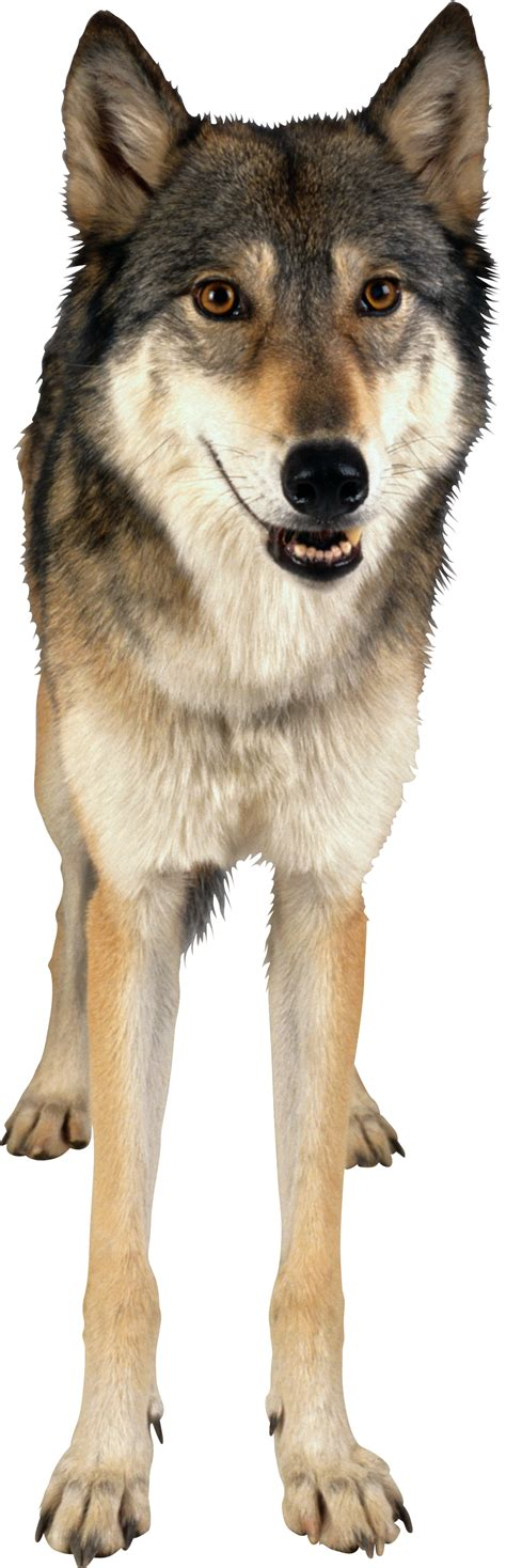 wolf animals png transparent images clipart  images