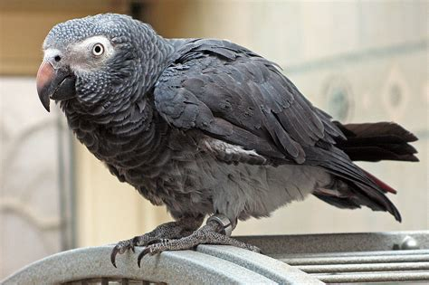 timneh parrot wikipedia