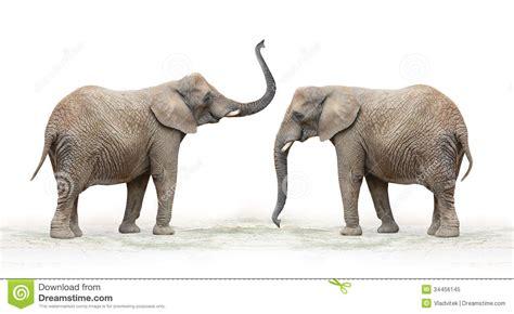 African Elephant (Loxodonta Africana). Royalty Free Stock ...