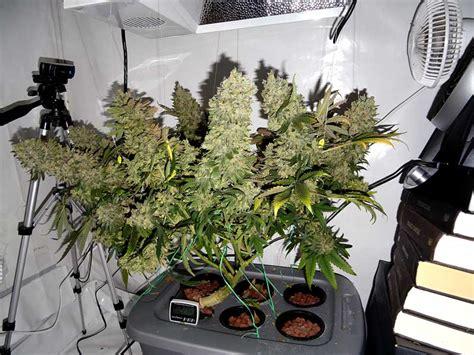 long     grow weed indoors grow weed easy