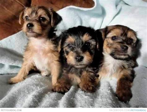 bichon yorkie puppies petyourdog pet your brown black bichon yorkie puppies