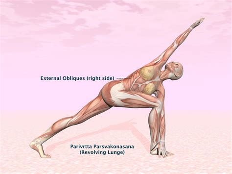 external obliques  yoga anatomy  muscles