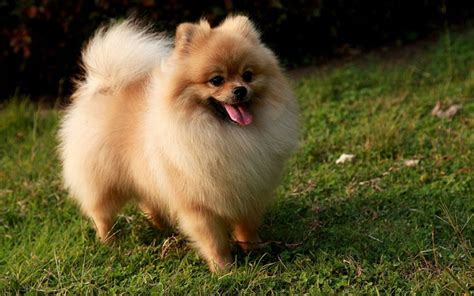 pomeranian puppies photos pictures of pomeranian puppies food breeds puppies best pictures of pomeranian
