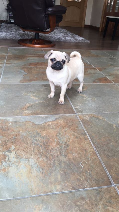 pug puppies for sale in east pug puppies for sale south east pets4homes
