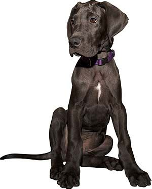 how much to feed a great dane puppy what is the best food for a great dane